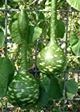 TROPICA - Kürbis - Riesen - Flaschenkürbis (Cucurbita lagenaria) - 15 Samen