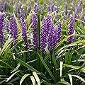 1 x Liriope muscari 'Royal Purple' Lilientraube (Ziergras/Gräser/Stauden) von Stauden Gänge bei Du und dein Garten