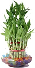 Zaavic 3 Layer Lucky Bamboo Plant with Glass Bowl and Jelly Balls (Green, Zvcplant-122)