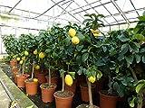 Zitronenbaum Zitrone Citrus limon 70-90 cm Zitruspflanze
