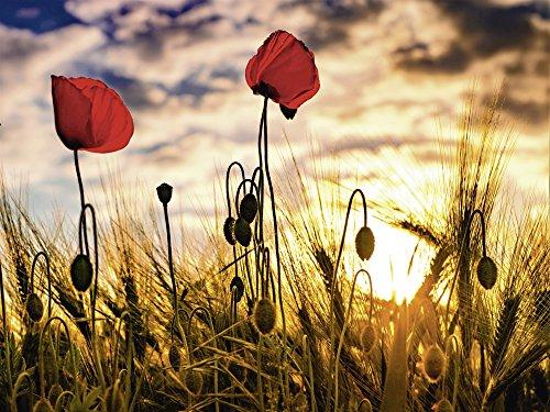 Artland Qualitätsbilder I Wandtattoo Wandsticker Wandaufkleber 40 x 30 cm Botanik Blumen Mohnblume Foto Bunt C6YG Mohnblumen im Sonnenuntergang (Mohnblumen Wandtattoo)