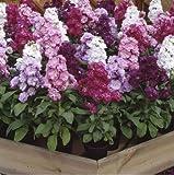Just Seed - Flower - Stock - Matthiola incana - Cinderella Mixed - 50 Seeds
