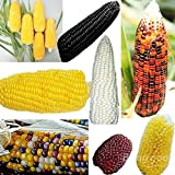 mark8shop 100 seltene Sweet Corn Samen Frischer Bio Heirloom Gemüse Popcorn