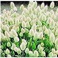 Gräsersamen Samtgras (Lagurus Ovatus), 100Samen von Nuts n' Cones auf Du und dein Garten