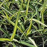 Yucca filamentosa 'Gold Heart' (Palmlilie) im 11cm Topf