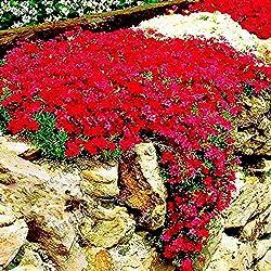 Soteer Seed House - Thym grimpant recouvert de sol de graine parfumée vivace herbe fleur pierre herbe pierre graine fleur résistante vivace