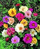 50+ DOUBLE MOSS ROSE MIX/PORTULACA/ANNUAL Blumensamen/Bodendecker