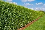 Heckenpflanze - Thuja occidentalis BRABANT - Topfware - verschiedene Größen (30-40cm)