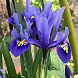 Humphreys Garden Iris Reticulata Harmony x 50 Bulbs Size 5up