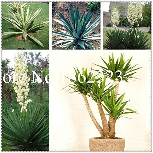 nuovo arrivo 30 pezzi yucca fiore, pianta i bonsai balcone fiore, fai da te pianta in vaso, bonsai germinazione tasso del 95%