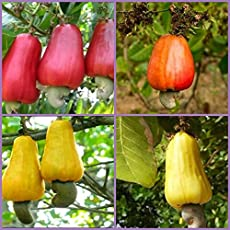 Catterpillar Farm 3-in-1 Combo Pack of Spanish Yellow, Red and Indian Queen Dwarf Cashew Seeds