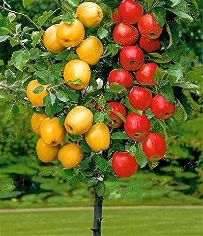apple tree bonsai nain 20 graines cueillir des fruits délicieux dans votre jardin facile -growing Fruit