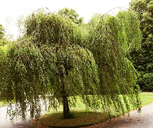 100 Samen Sandbirke, Hängebirke, Betula pendula, ideal als Bonsai, Baum d. Jahres 2000