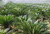 Familie Cycadaceae Cycas Revoluta Samen 90g, sehr beliebt Perennial Palmfarn Gartensamen, Zierpflanzen König Sago Samen