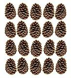 Pinus Maritima Zapfen 10-15 cm Deko Maritimazapfen natur getrocknet sauber (20er Set)
