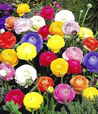 BALDUR-Garten Gefüllte Ranunkeln, 30 Stück Blumenzwiebeln von Baldur-Garten - Du und dein Garten