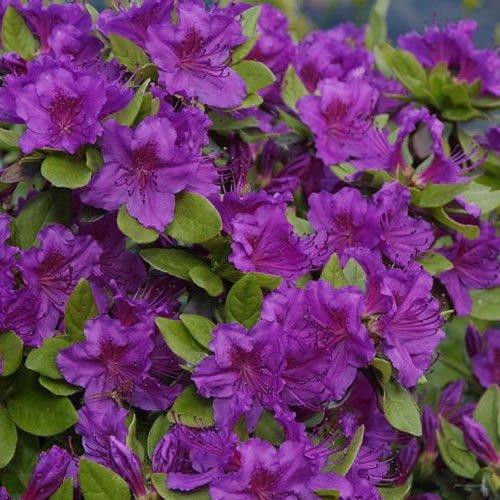 1-x-azalea-geisha-purple-japanese-evergreen-shrub-hardy-plant-in-pot