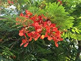 Generic 60 Seeds: Delonix Regia Königliche Poinciana Flamboyant Flame Tree Seeds Red s