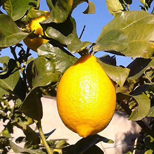 limonero-4-estaciones-maceta-22cm-altura-aprox-110cm-envios-solo-a-peninsula