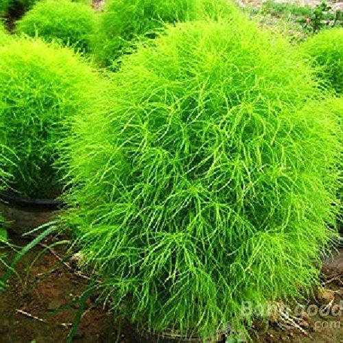 mark8shop 100-Radmelde Radmelde Gras Pflanzen Samen