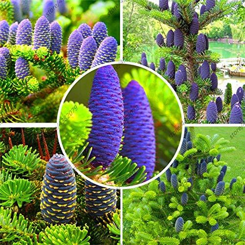 AGROBITS 50 Piezas Plantas de Abies, Abeto Coreano, Nordmann Abeto (árbol de...