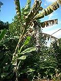 Winterharte Fruchtbanane -musa balbisiana- 10 Samen