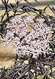 Palmenmann Schwarzer Holunder (Black Lace) - Sambucus nigra Black Lace