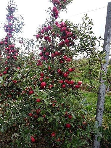 Apfelbaum – Sorte Malus domestica Jonagold – 60-80cm Topf 2 Ltr.