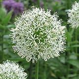 """3x Allium """"Mount Everest"""" Mehrjähriger Zierlauch mit Weißen Blüten"""
