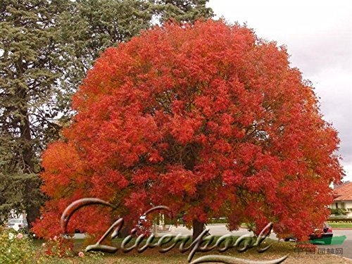 50 Samen Japanischer Ahorn Bonsai-Baum Red Maple Favoriten der Schmetterlinge & Nützliches Bees DIY Hausgarten - Red Maple