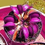 Kisshes Giardino - 50 Pezzi Rare multicolore Venus Flytrap Seeds Dionaea muscipula Piante carnivore Semi Flytrap, molto gigante