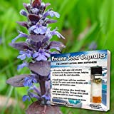 Bugle Seeds (Ajuga reptans) 10+ Rare Medicinal Herb Seeds + FREE Bonus 6 Variety Seed Pack - a $29.95 Value! Packed in FROZEN SEED CAPSULES for Growing Seeds Now or Saving Seeds for Years