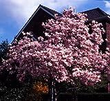 Tulpenmagnolie rosa blühend. 1 Pflanze. C3 40/60 - zu dem Artikel bekommen Sie gratis ein Paar Handschuhe für die Gartenarbeit dazu