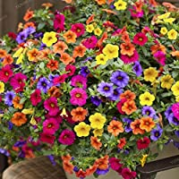Qbisolo 100 PCS Colgante Petunia Semillas Mezcladas Color Olas Hermosas Flores para el Hogar, Mini Jardín,Balcón,Planta de Patio Trasero