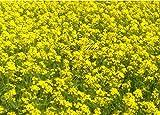 ScoutSeed Brassica juncea 100 Indian Senf Greens Garden Seeds Nicht GVO Mildly Würzig