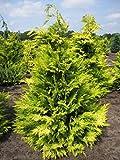 Chamaecyparis lawsoniana 'Golden Wonder' - gelbe Scheinzypresse 'Golden Wonder' 40-50