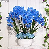 Fash Lady ZLKING 100 PCS China Real Único Hermoso Azul Phalaenopsis Bonsai Planta Natural Aroma Cymbidium Perenne Flor Exótica