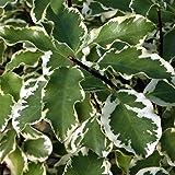 "Pittosporum tenuifolium ""Variegatum"" (Pittosporo o Pitosforo) [Vaso Ø18cm]"