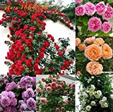 #3: Rare Climbing Rose Flower Live Plants Combo - 6 Different Varieties ( 6 Live Plants)