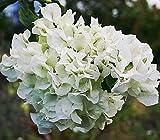 #7: Live White Bougainvillea Plant In Pot