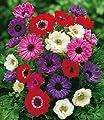 BALDUR-Garten Gefüllte Anemonen 'Brigid-Mischung', 25 Zwiebeln Anemone coronaria von Baldur-Garten auf Du und dein Garten