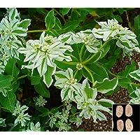 Portal Cool Nieve en la Montaã±a de la Nieve temprana - Euphorbia Marginata - 40 Semillas # 933