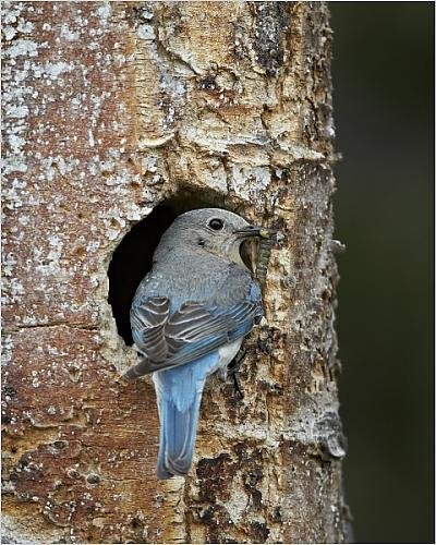 photographic-print-of-female-mountain-bluebird-sialia-currucoides-with-food-at-the-nest