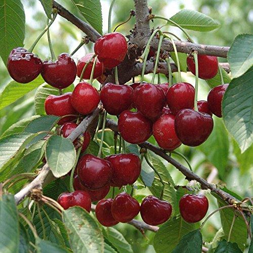 5-graines-de-cerisier-arbre-fruitier-envoi-sous-48h