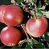 Müllers Grüner Garten Shop Apfelbaum Roter James Grieve saftiger Sommerapfel Buschbaum 150-170 cm 10 Liter Topf Unterlage M7