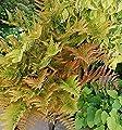 Rotschleierfarn - großer Topf - Dryopteris erythrosora von Baumschule auf Du und dein Garten