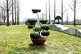 Formgehölze, Outdoor- Bonsai - Ilex crenata 'Convexa' - Garten von Ehren®