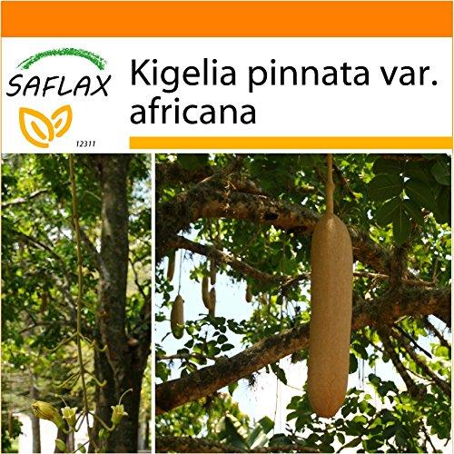 SAFLAX - Garden in the Bag - Leberwurstbaum - 10 Samen - Kigelia pinnata var. africana - Garden In A Bag