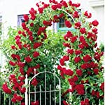 Best Climbing Roses - Variety House Red Climbing Rose Tree-Plant Seeds Review
