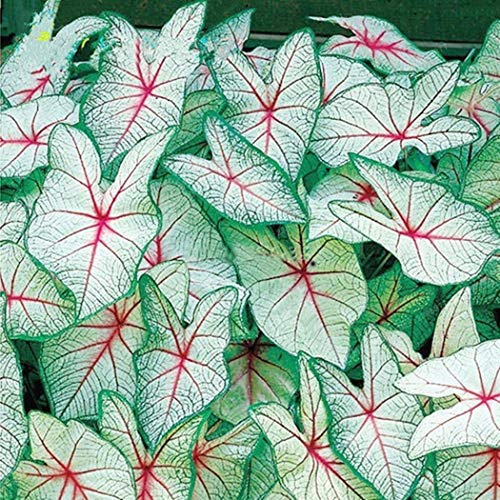 MEIGUISHA Gartensamen-100 Stück Korn Coleus Canina scutellariodes Samen Harfenstrauch Dancers mix Bonsai Blume Blatt Pflanzen mehrjaehrig Buntes Blattgras